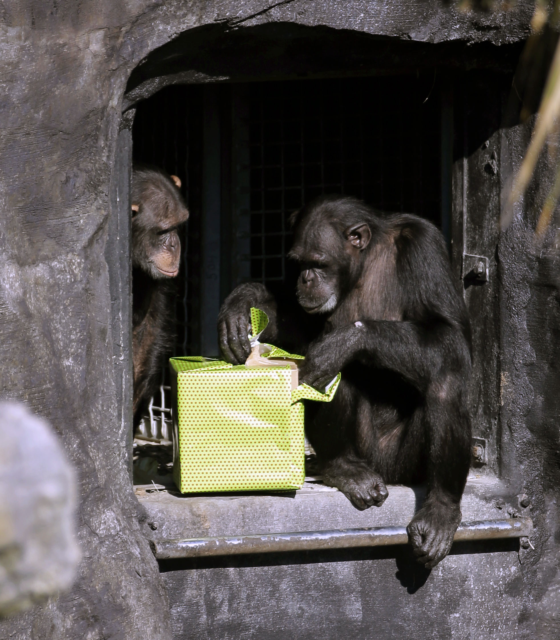 Chimps make friends like humans do - study - NZ Herald