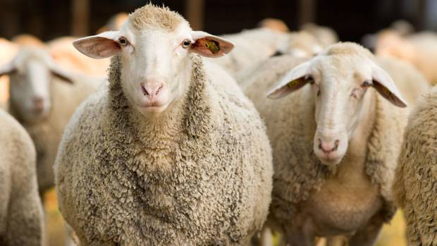 Feeling sheepish? 300 animals not actually missing from Gore farm after all