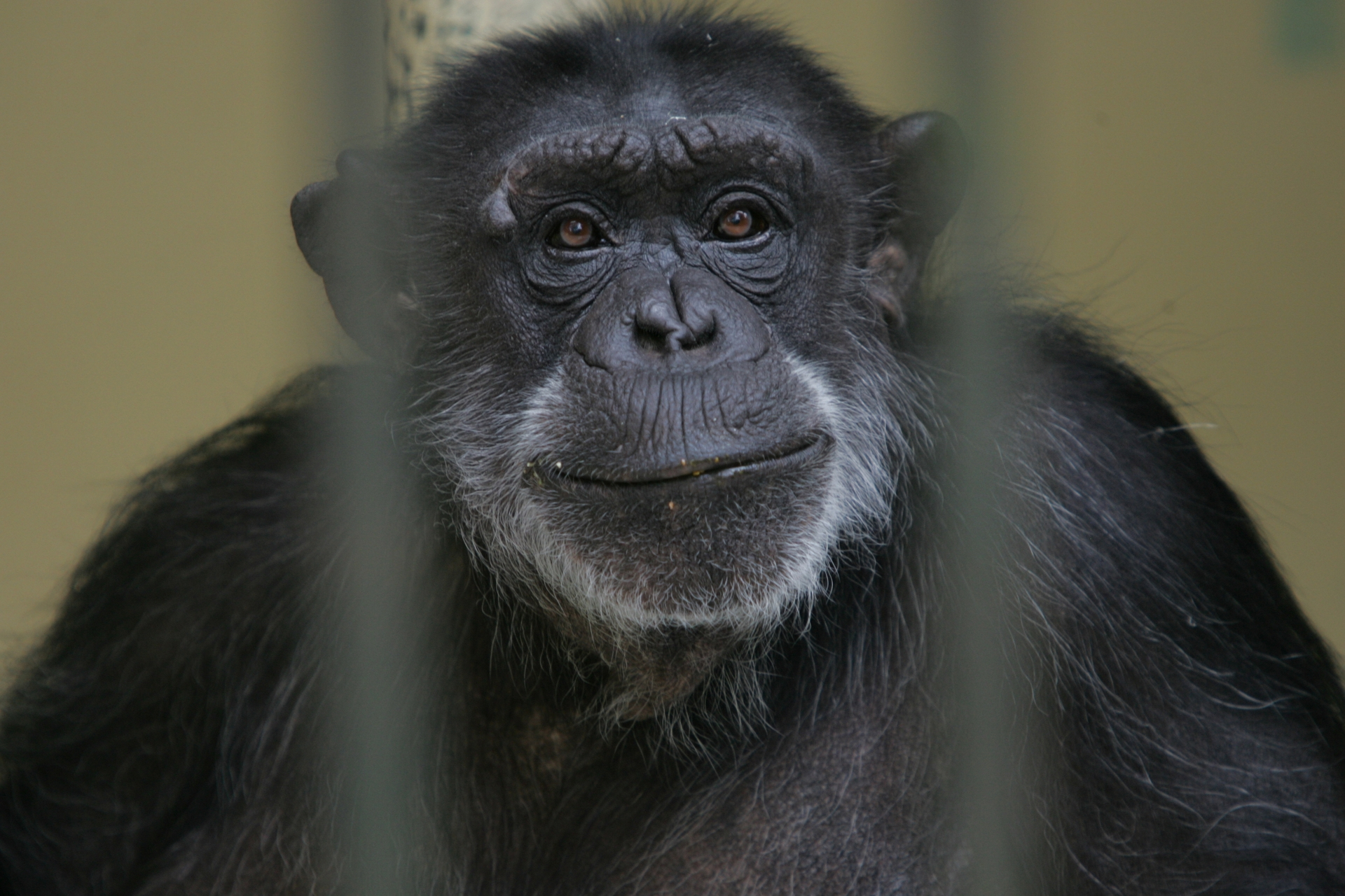 The last cuppa for Janie the tea-party chimp - NZ Herald