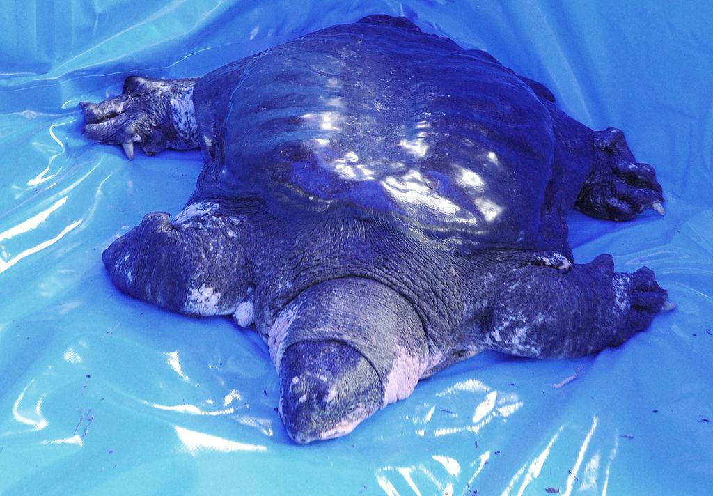 World's rarest turtle Yangtze giant softshell dies in China