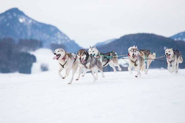 This video of a runaway dog sled police chase is the most absurd, hilarious thing you'll see today