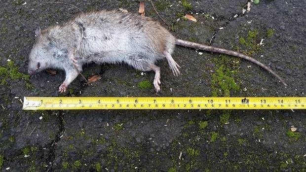 Auckland Council helps pay for backyard rat trapping credited with bringing back native birds