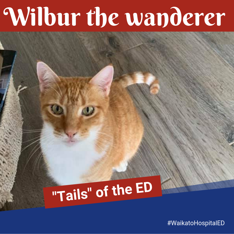 Purrfect ending after Wilbur the Cambridge cat wanders all the way to Waikato Hospital