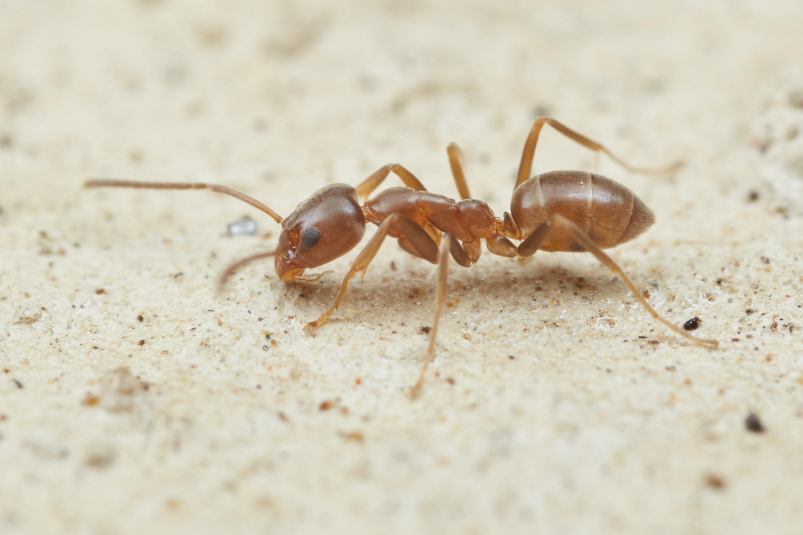 Argentine ants threaten Kāpiti Island - NZ Herald