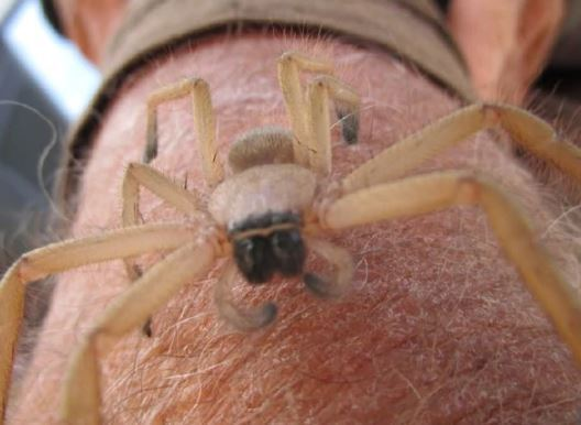 Why massive nest of huntsman spiders uncovered in Western Australia is such a rare find