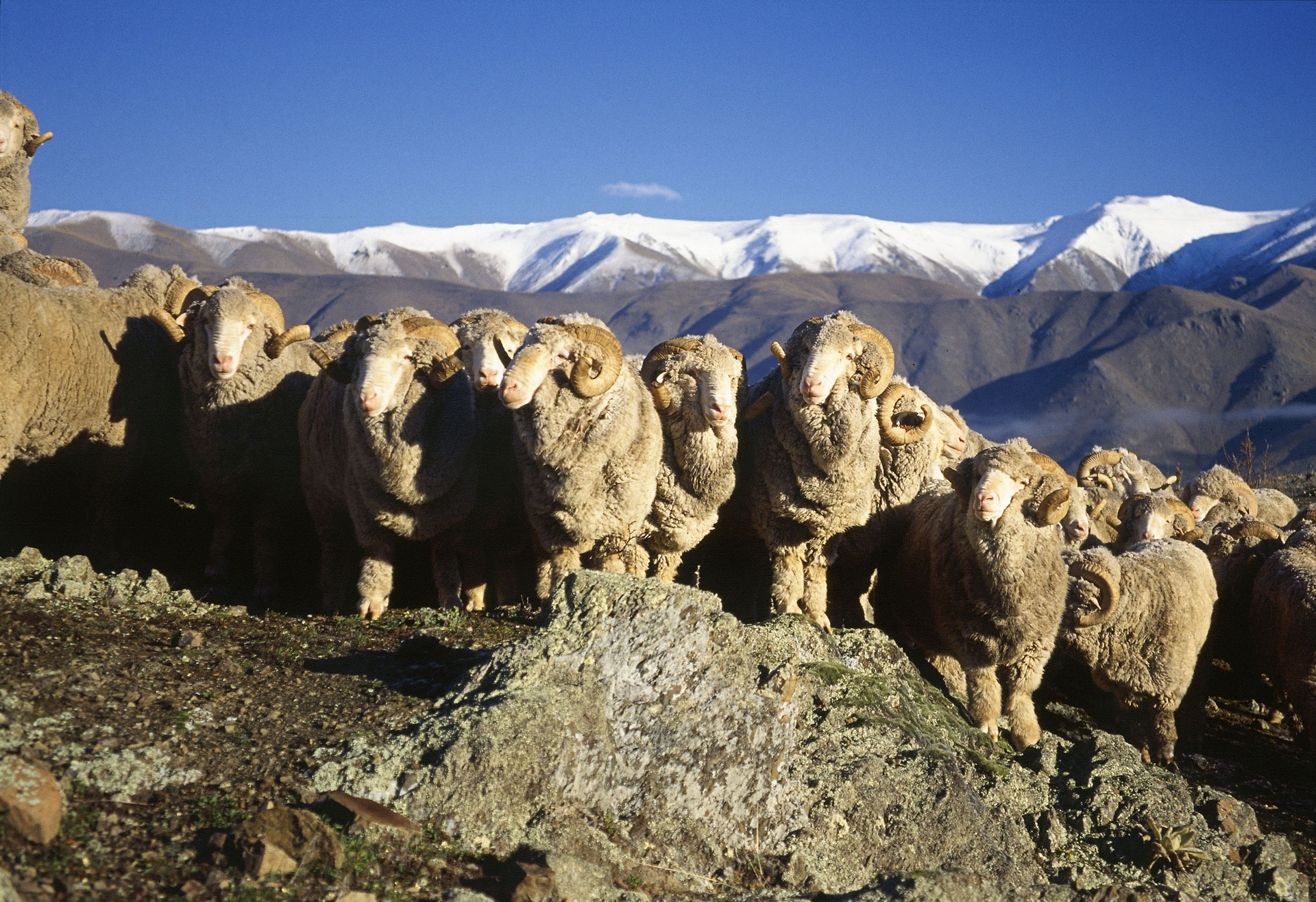 NZ Merino inks 5-year, $45M contract with Italy's Reda - NZ