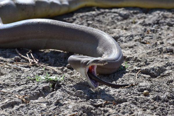 Snake caught on camera regurgitating another snake