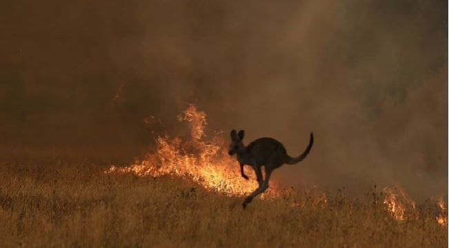 Half a billion animals perish in Australian bushfires
