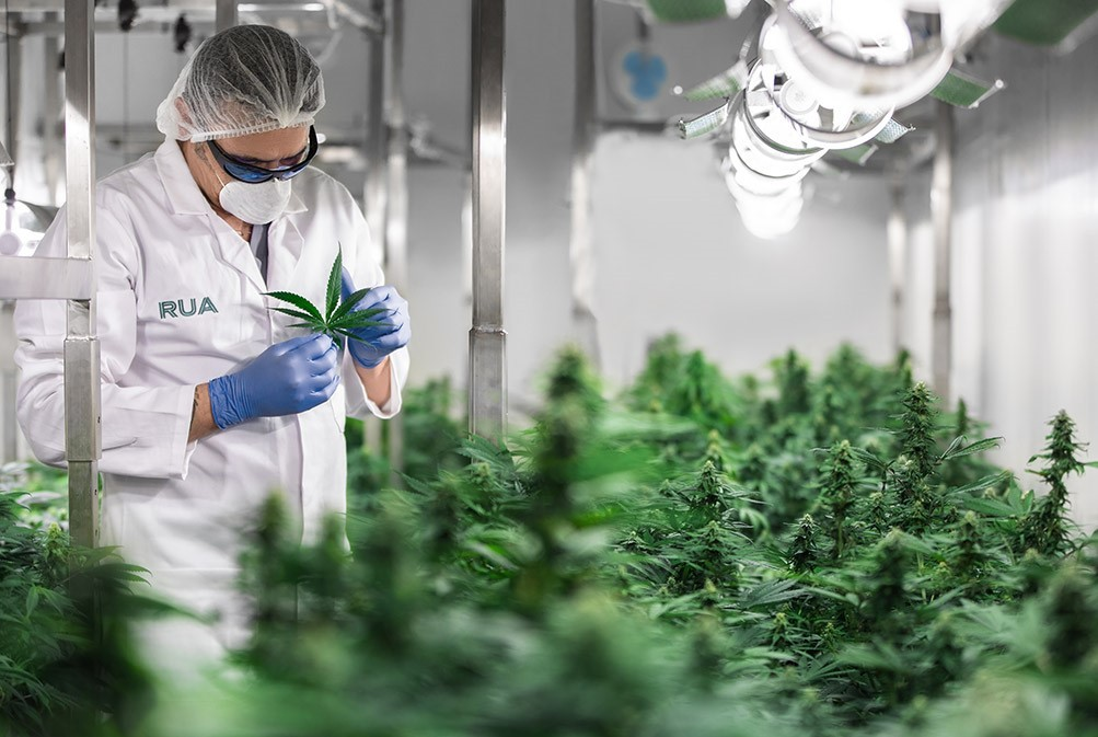 Situations vacant: Experienced cannabis growers wanted