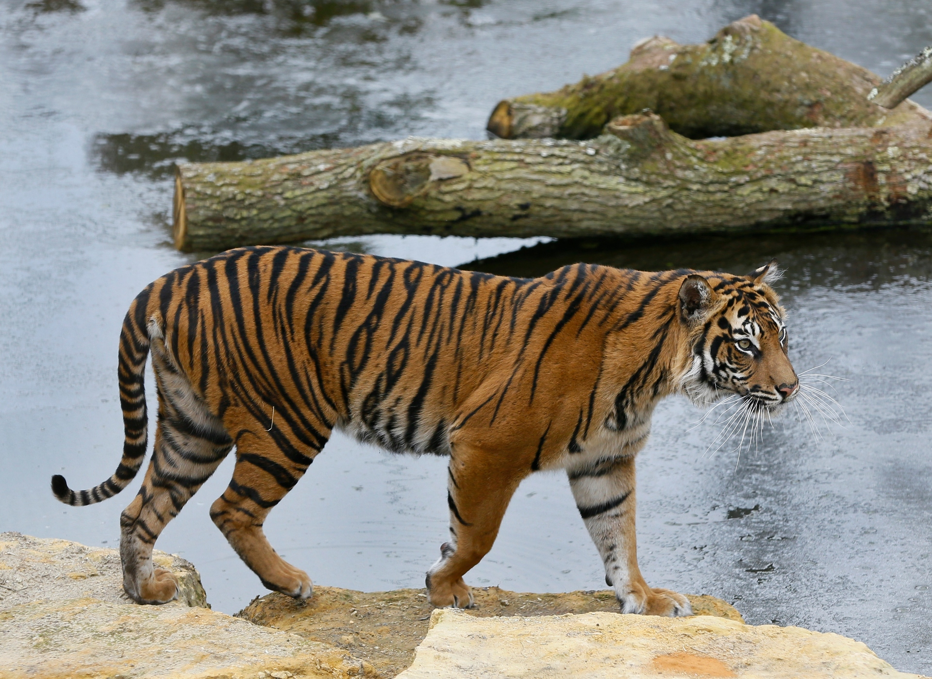 Zookeepers hoped rare tiger would breed with its 'perfect mate'. He killed her.