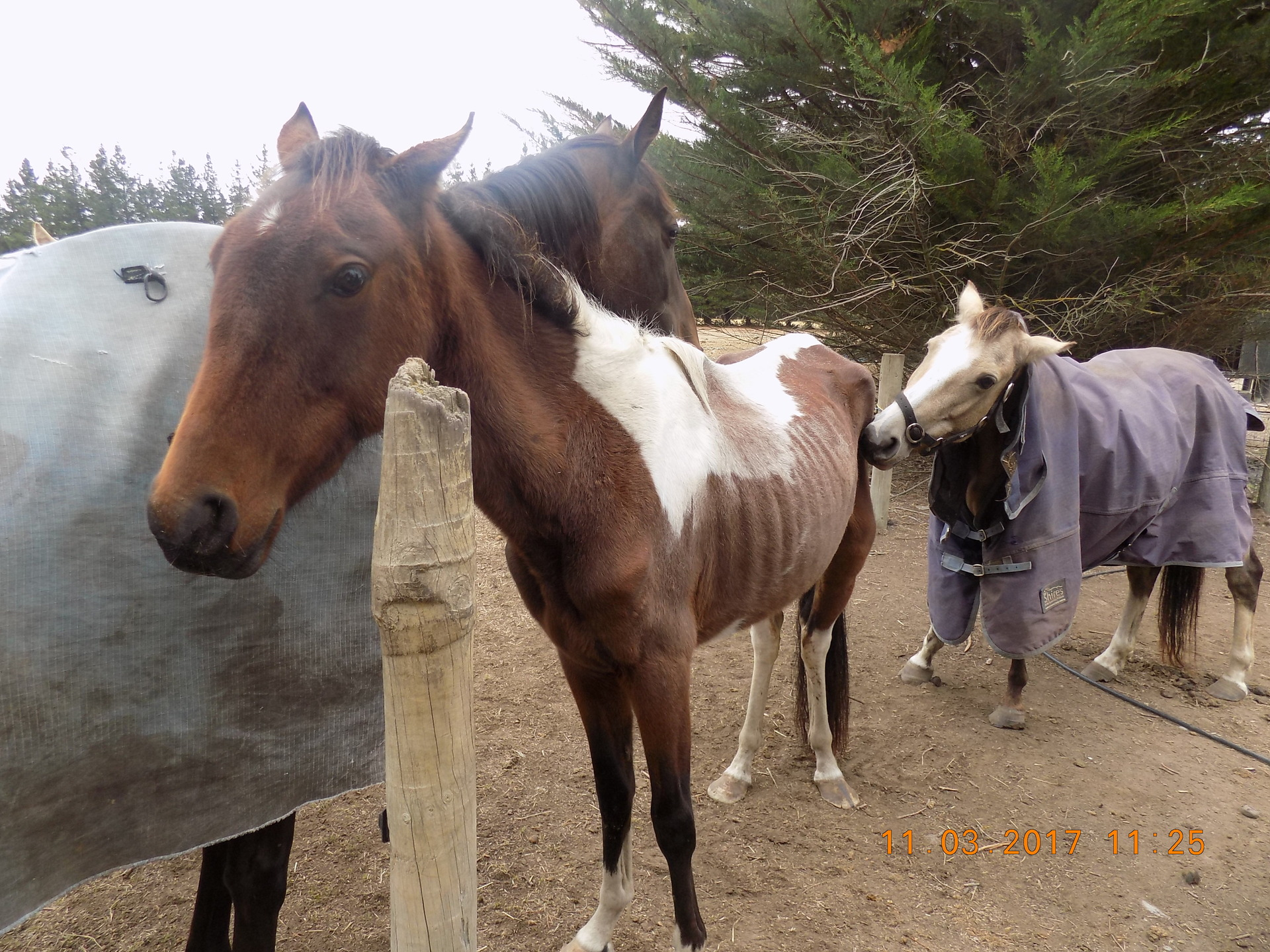 SPCA prosecutes woman who starved her horses
