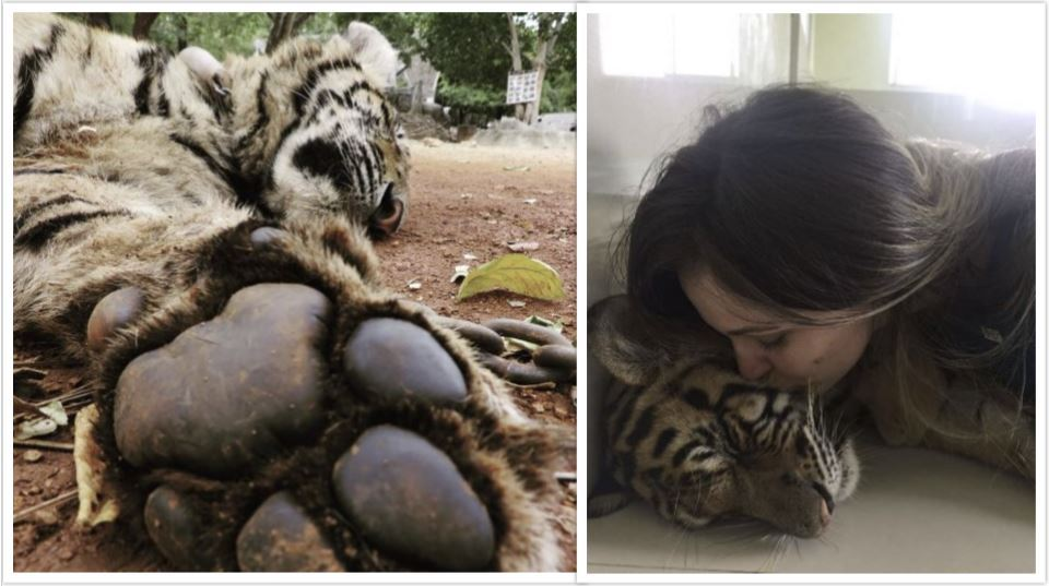 86 tigers die after rescue: report