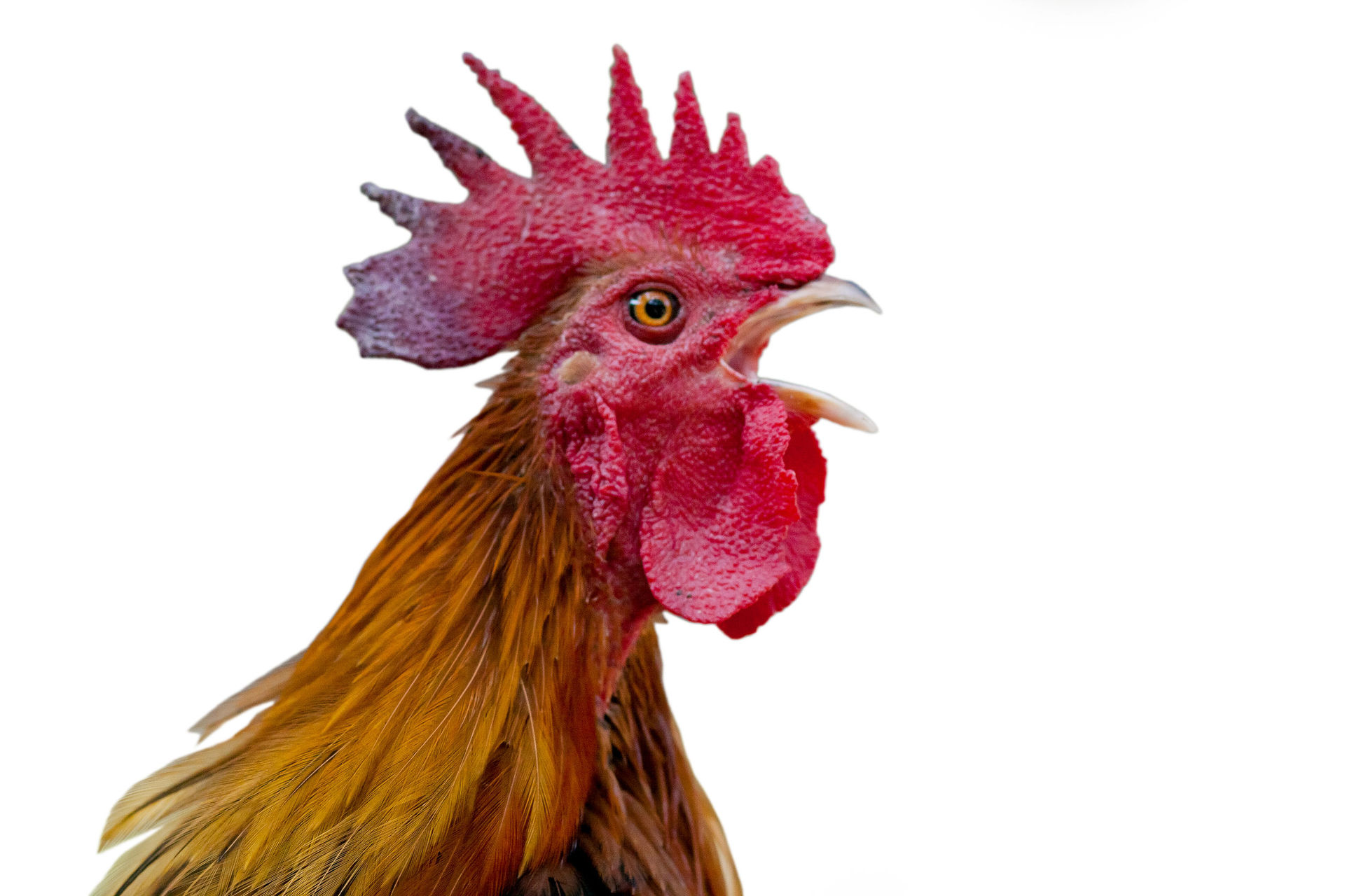 Man killed by 'armed' chicken