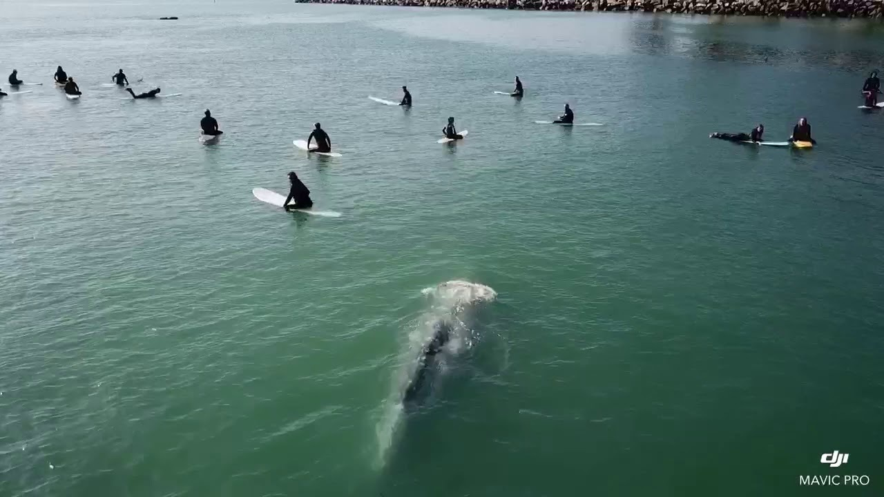 Incredible footage of whale curious about surfers