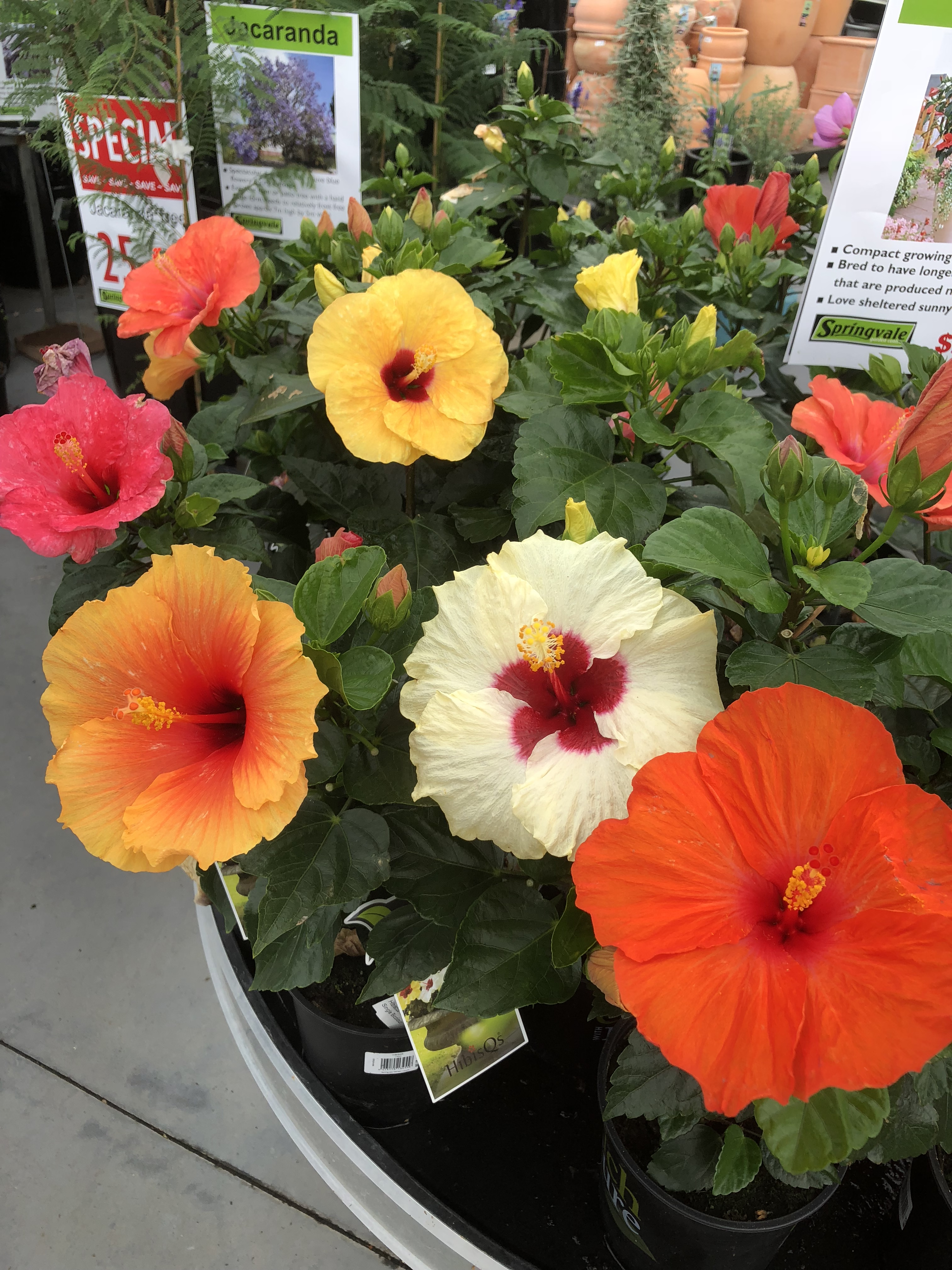 Hibiscus Enjoy The Summer Heat Nz Herald
