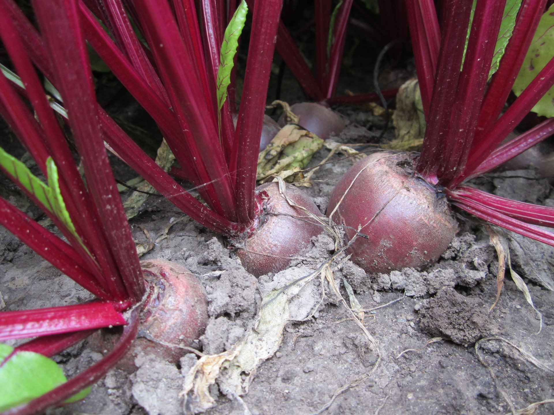 "Picture of Live Beetroot aka Beta vulgaris (Cu Den) Plant Fit 4"" Pot"