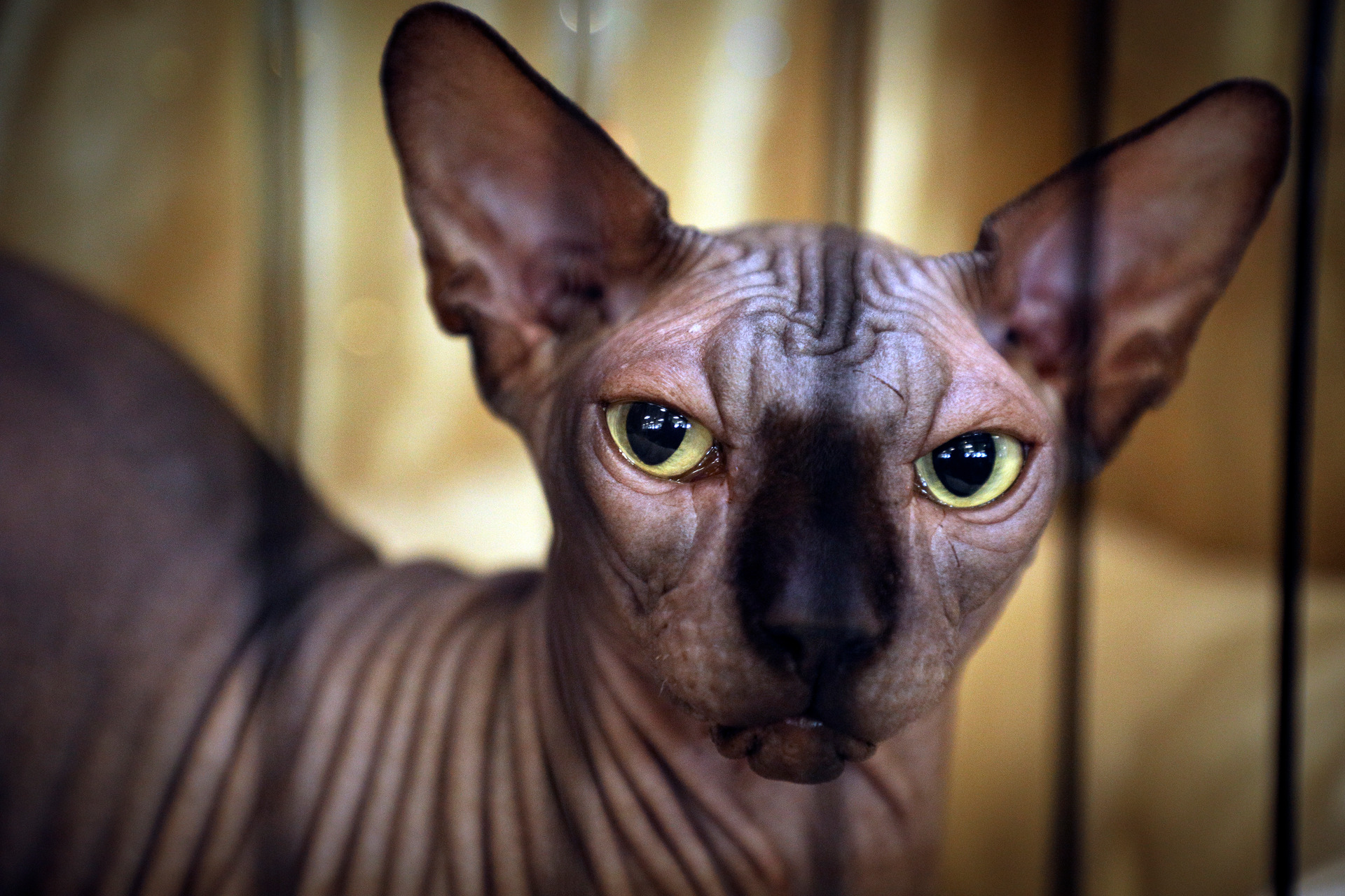 'Look how skinny he is!' – Meet the stars of a national cat show