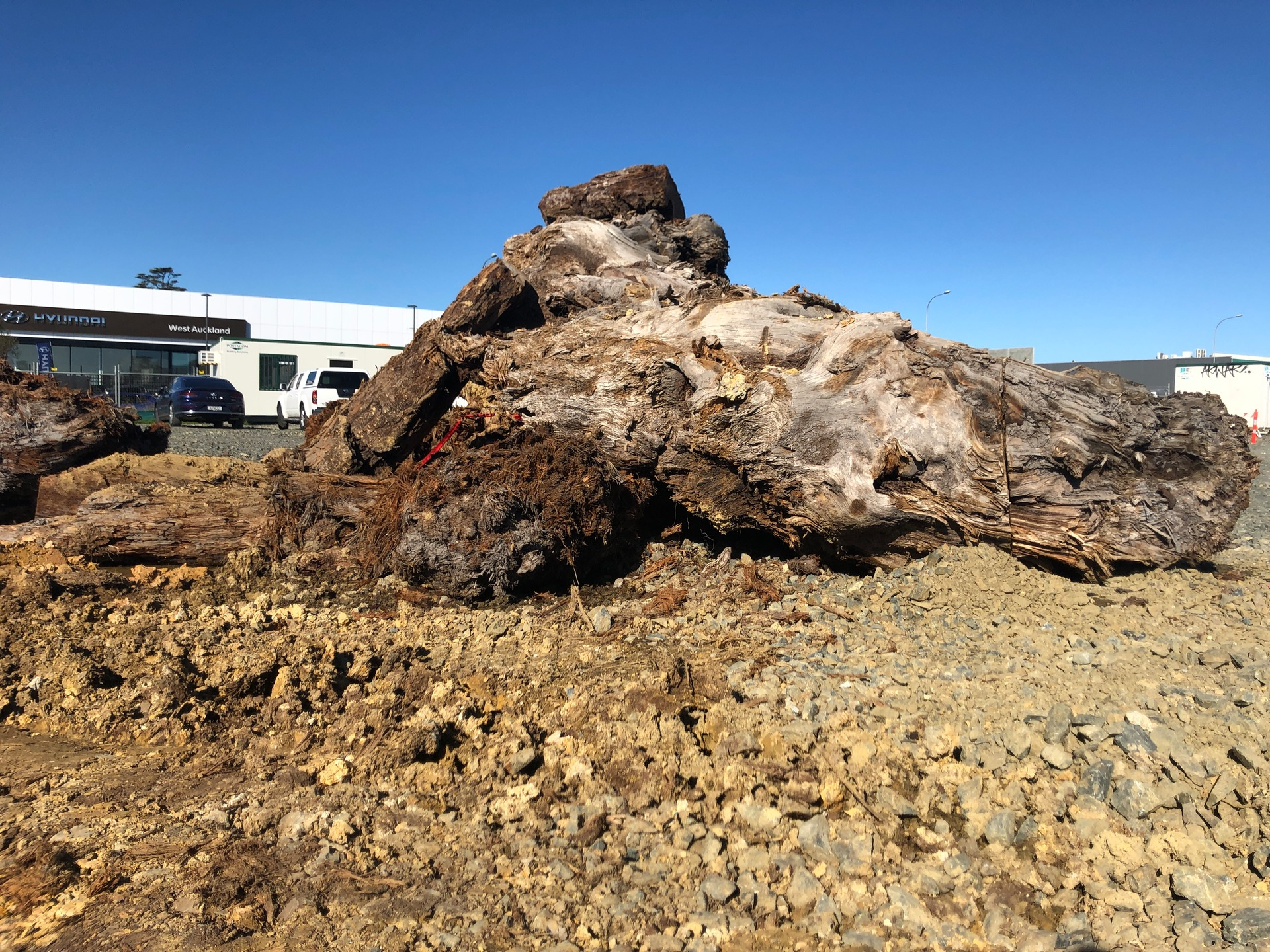 Kauri unearthed at building site may hold ancient secrets