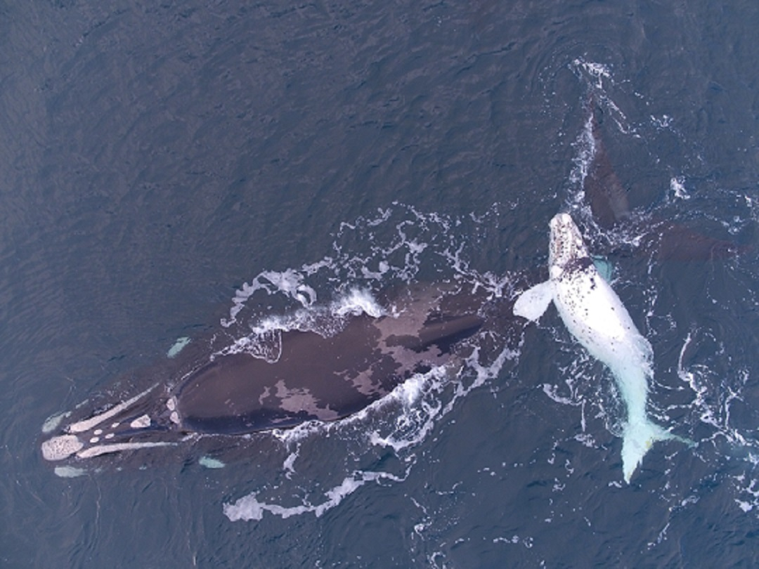 Whale song recordings aid recovery of rare ocean giant