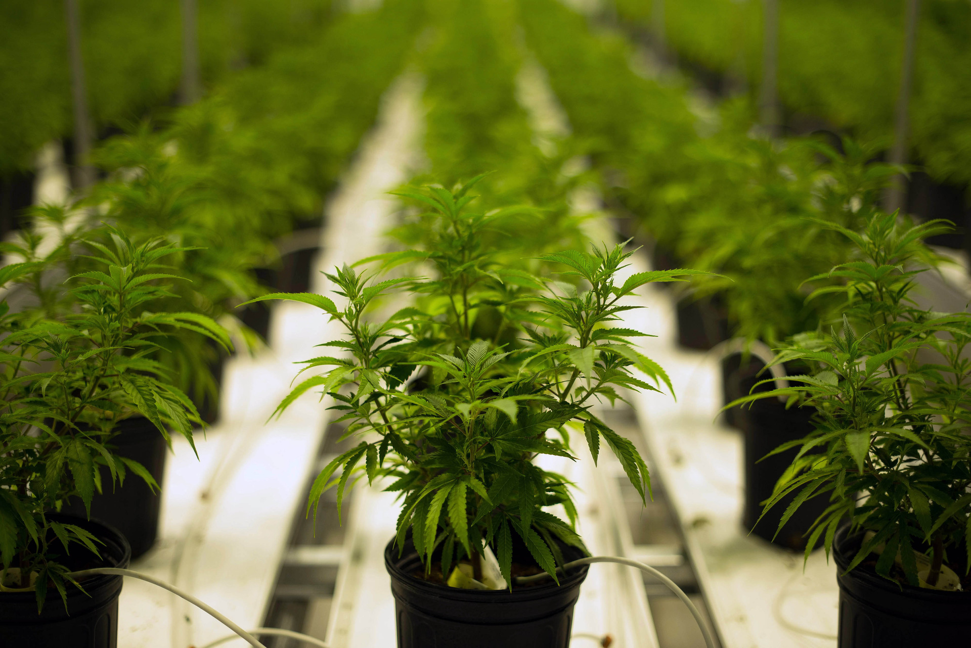 Kiwis support medicinal cannabis for many conditions: Poll
