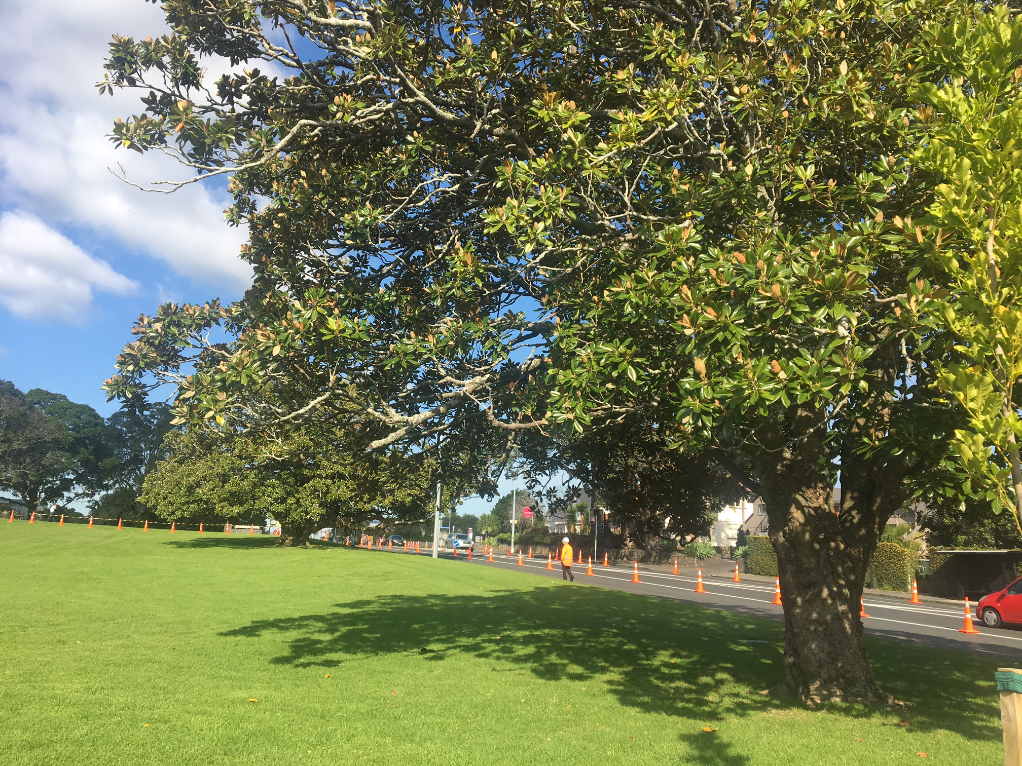 Outcry As Formerly Protected Cornwall Park Magnolias Are Felled Nz