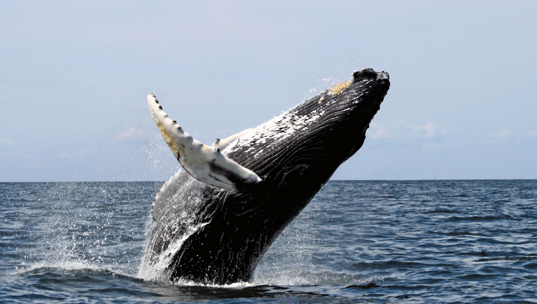 30 years for Humpback whales to recover - scientists