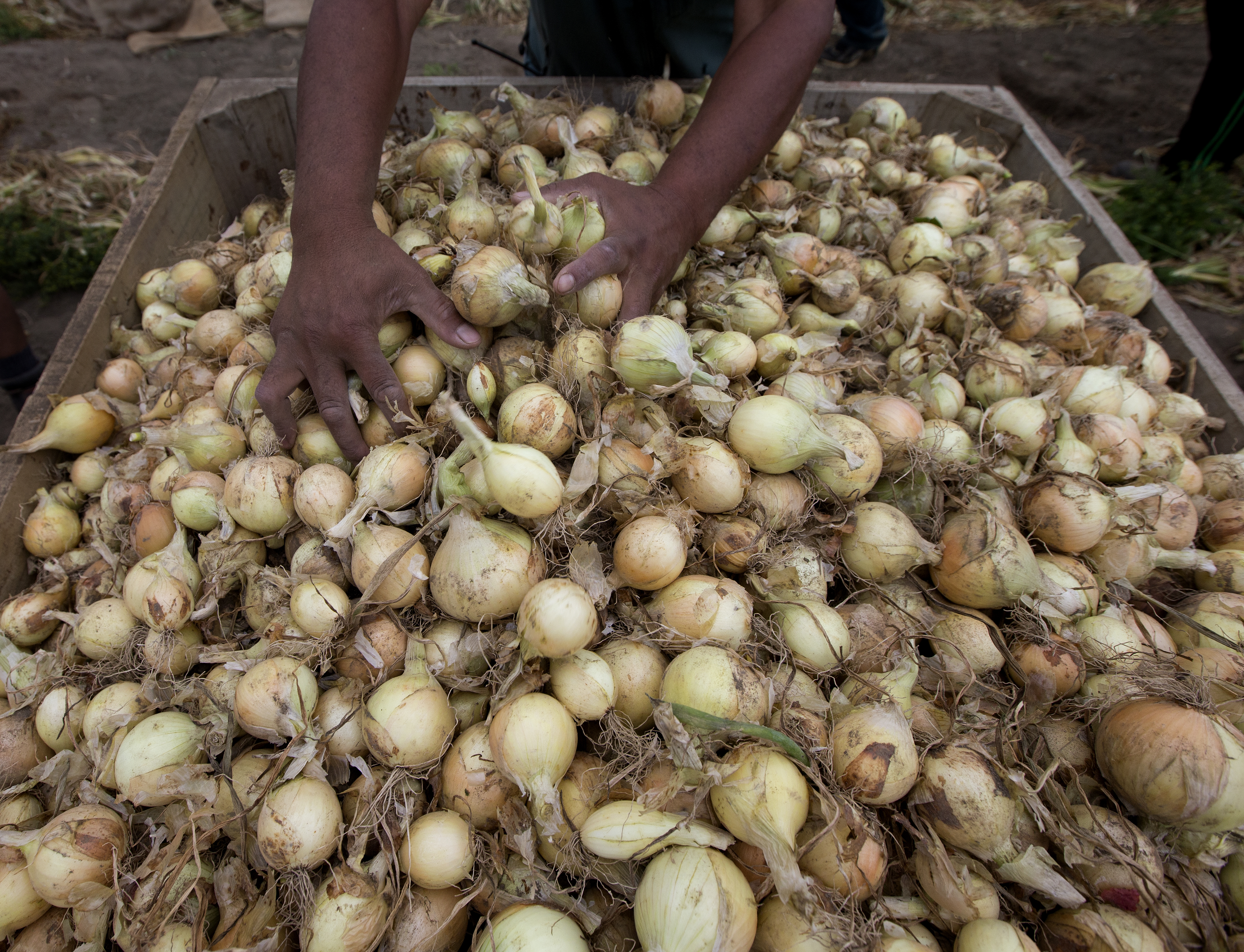 NZ onion growers look to better season after export slide last year