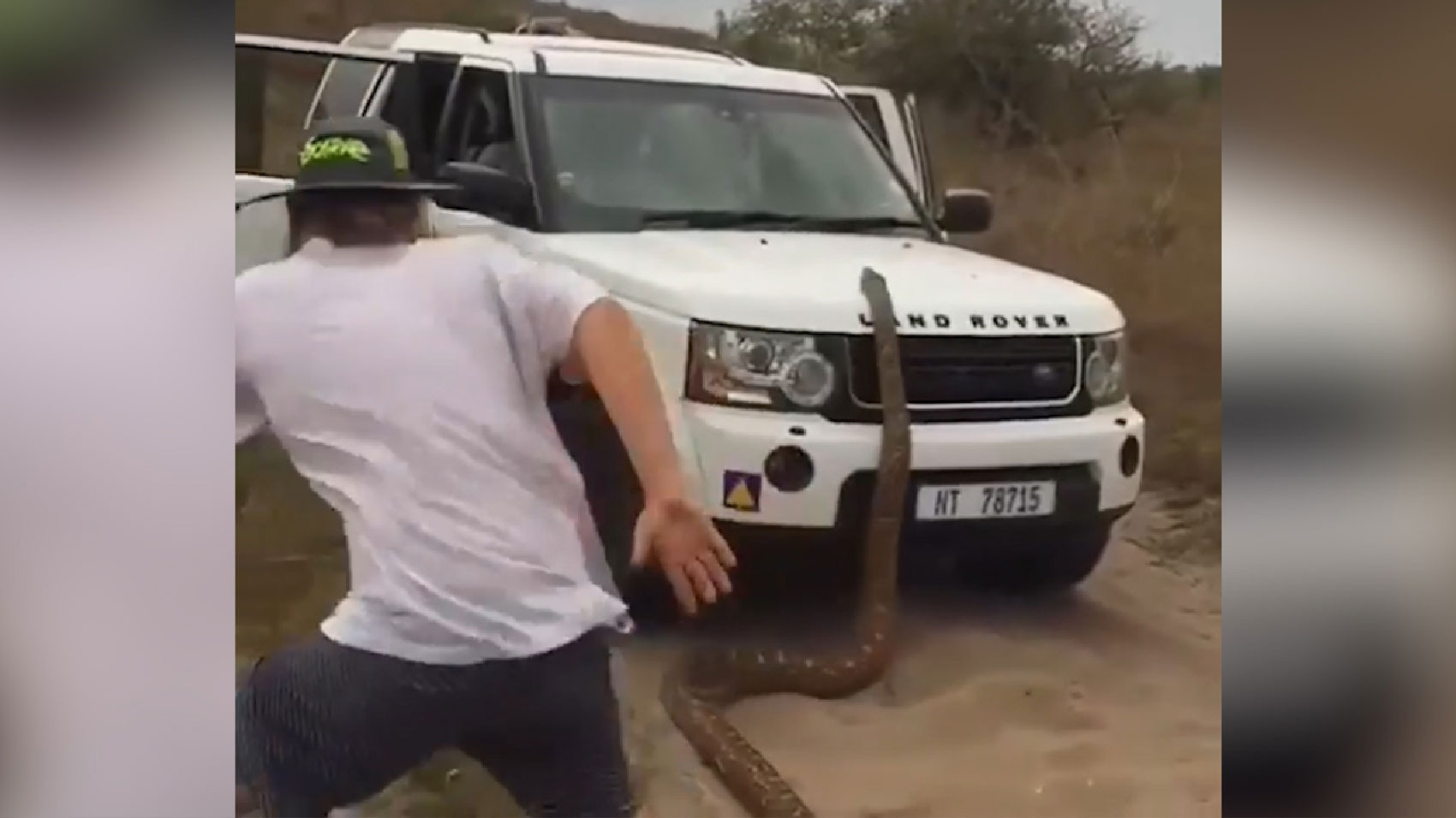 Giant python chases safari tourists off the road