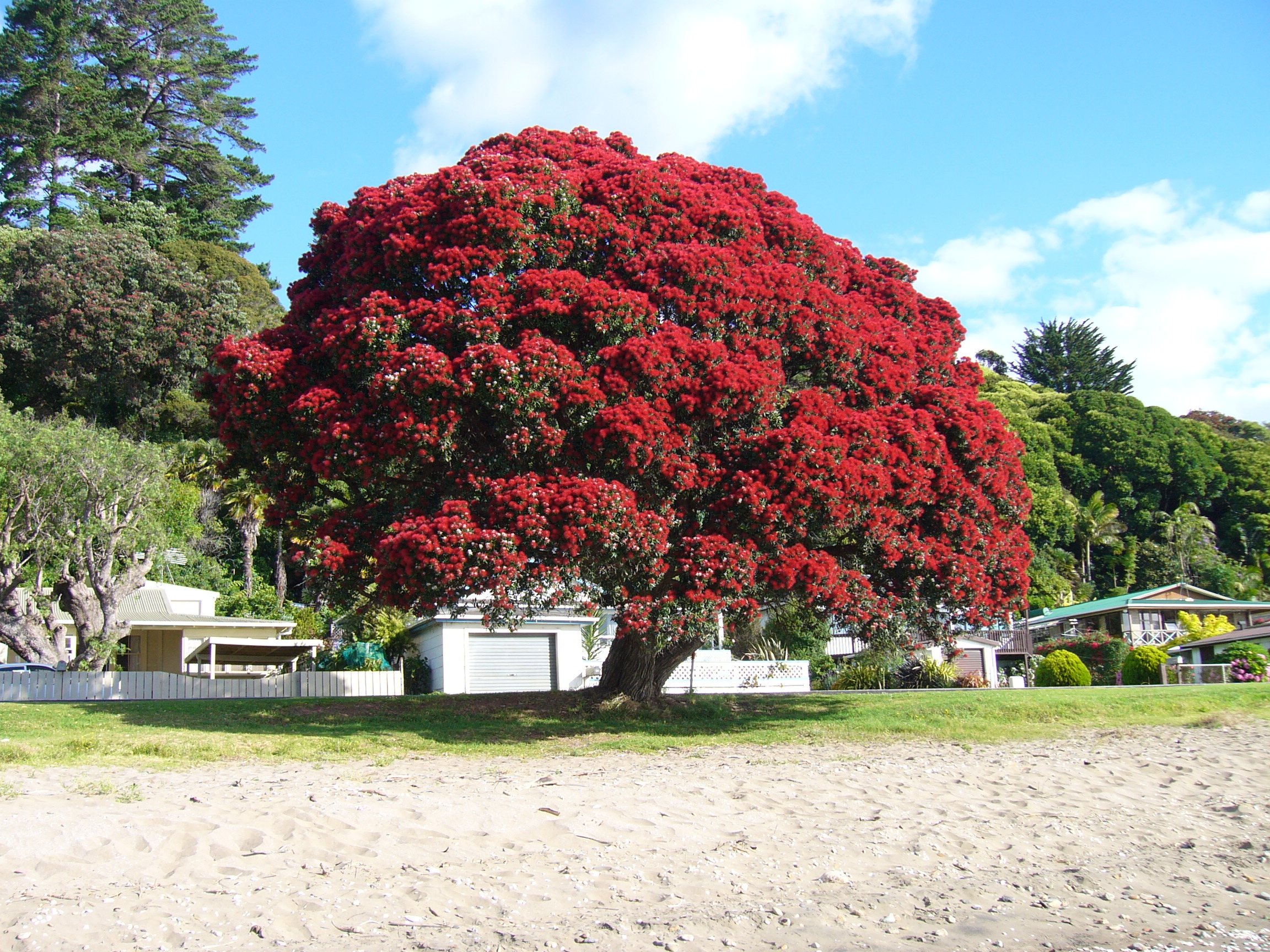 Pohutukawa A Sign Of Summer Nz Herald