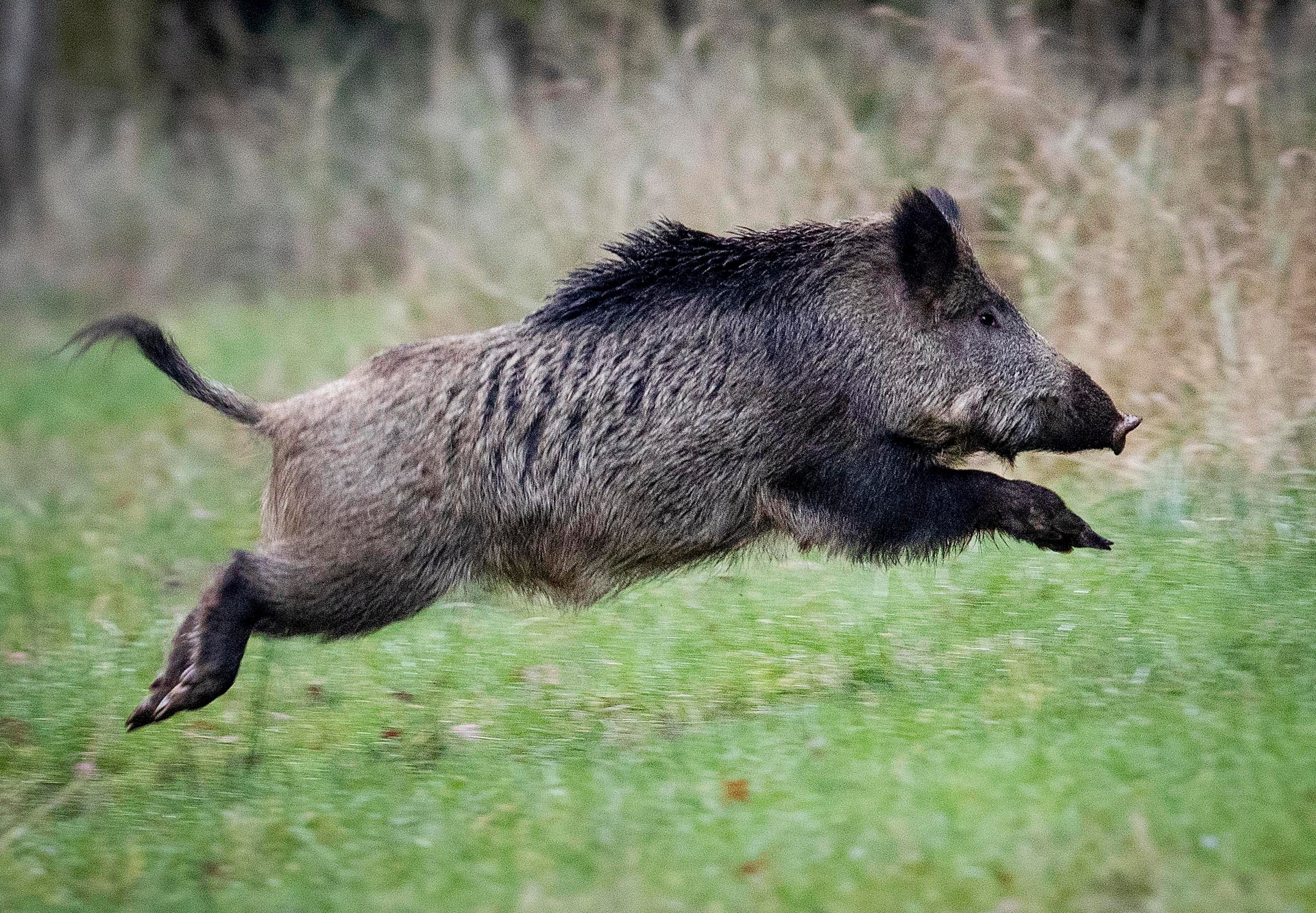 Wild pigs dig up $35,000 cocaine stash buried by gang