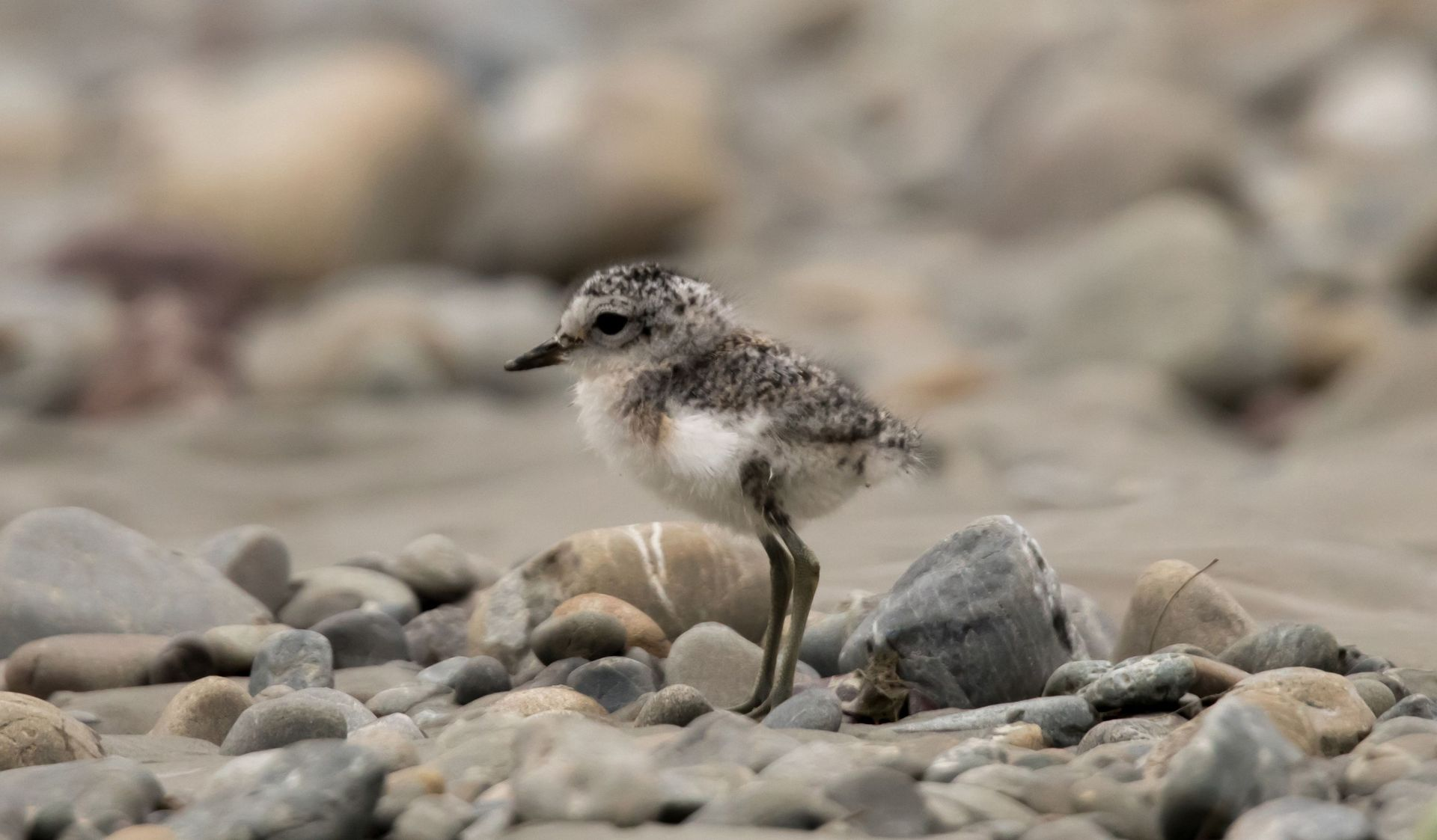 Dogs roam free as vulnerable dotterel breed on Hawke's Bay beaches