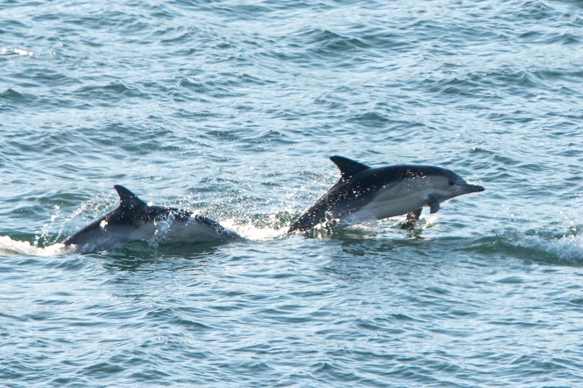 Anger after jetskiiers chase dolphin pod in Wellington waters