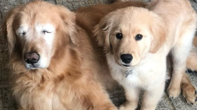 Blind dog gets his own seeing-eye dog