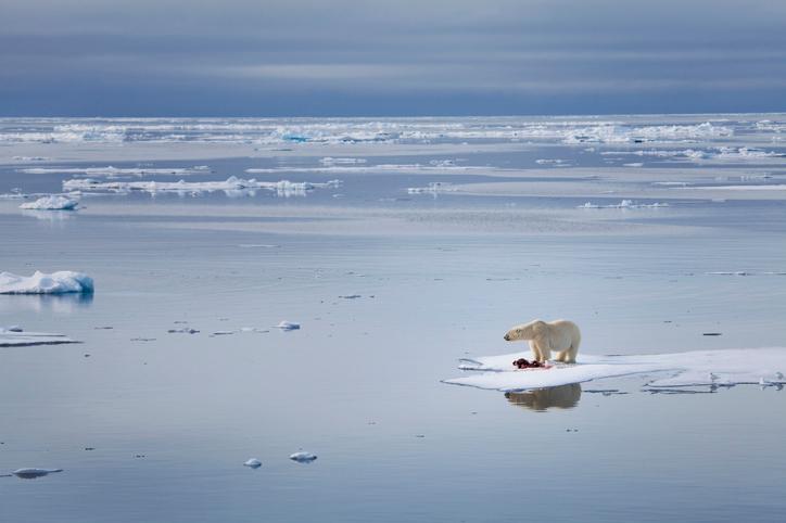 Melting ice strands polar bears on Russia's Arctic coast
