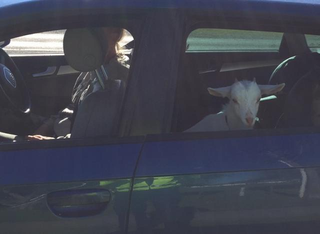 Travelling goat sparks police reminder in Eastern Bay of Plenty